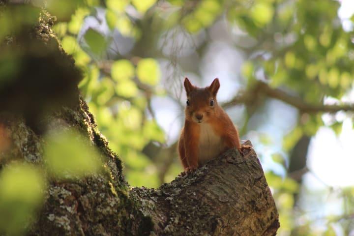 Närbild på en ekorre som stter i ett träd och tittar in i kameran.