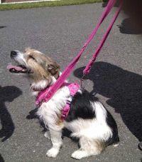 terrier in pink