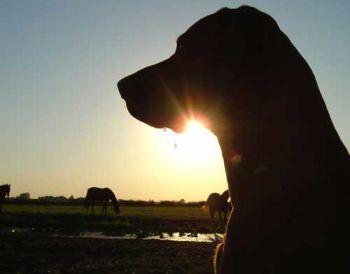 sun set dog