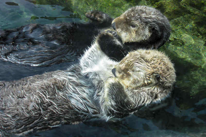 Just some sea otters holdin hands