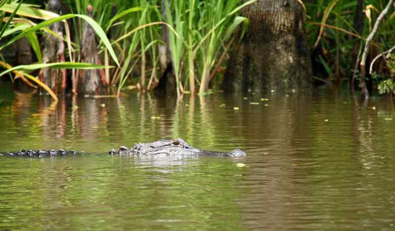 Alligator in Louisiana swamp