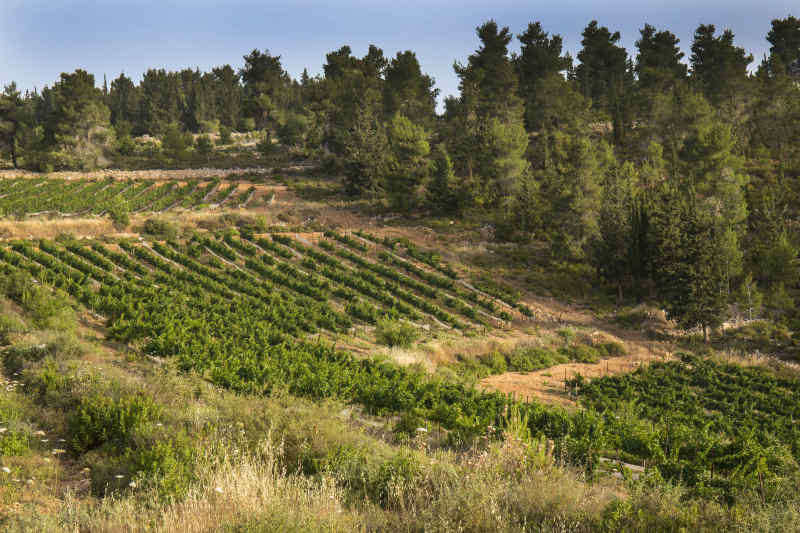 Vineyard near Jerusalem