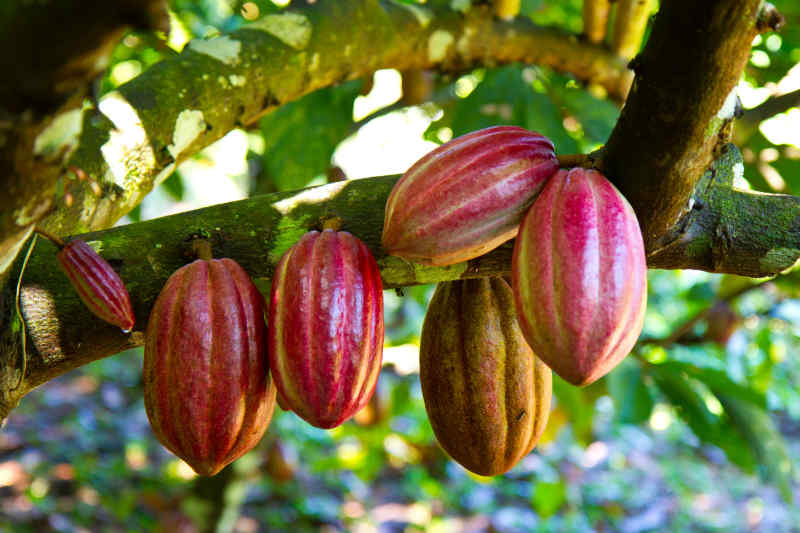 Cocoa plant in Belize