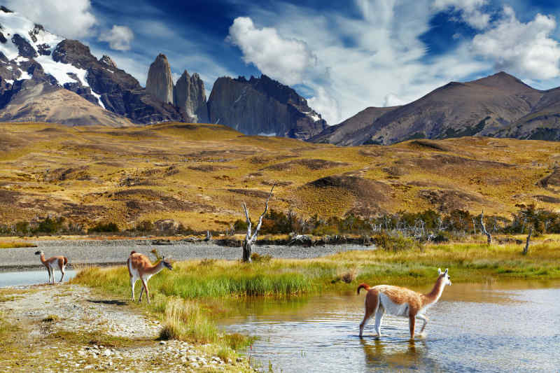 Guanaco • Torres del Paine National Park, Chile