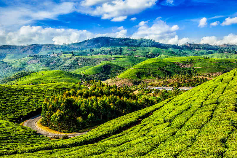 Tea Plantation in Kerala