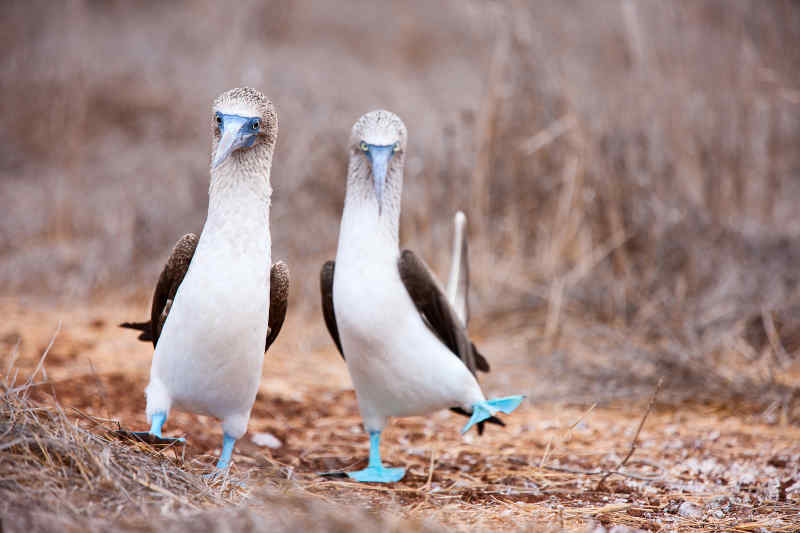 Blue-footed Boobie • Galapagos Islands, Ecuador