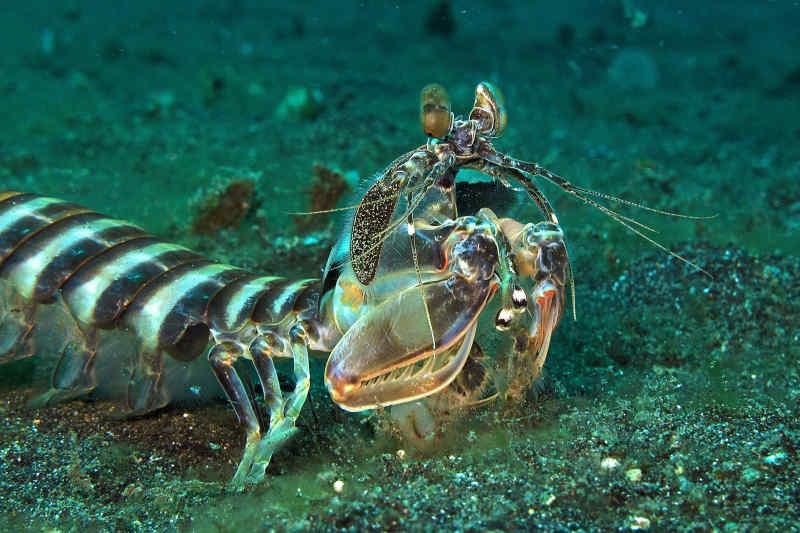 Mantis shrimp in Lembeh Strait