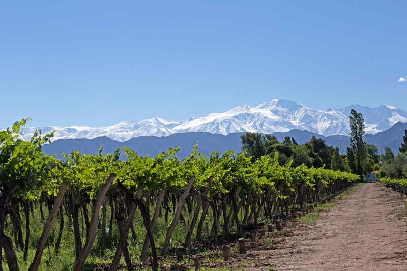 Vineyard • Mendoza, Argentina