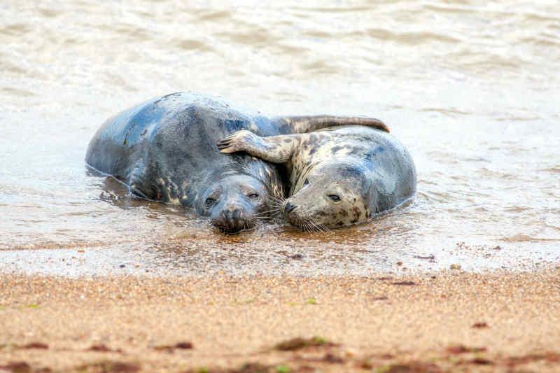 Cuddling seals