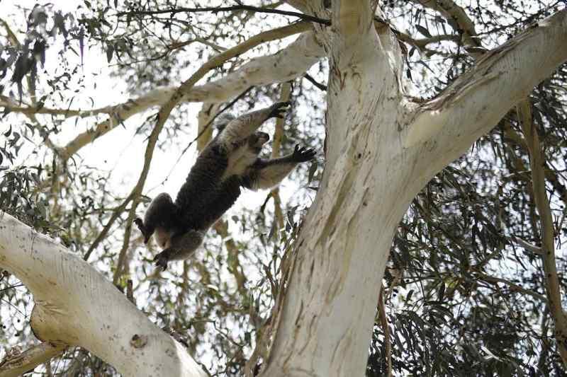 Drop Bear Jumping