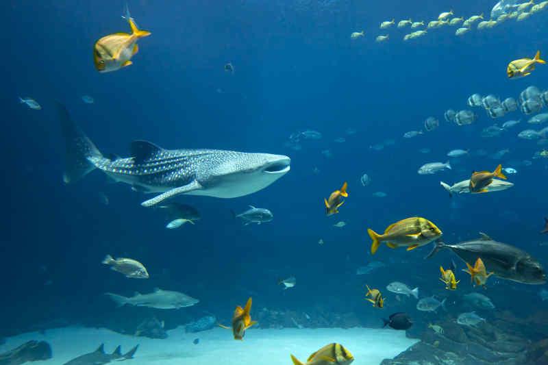 Swimming Whale Shark