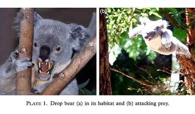 Drop Bear in Action