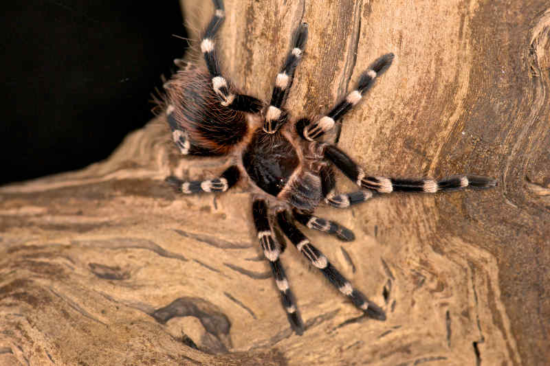 White-Knee Tarantula