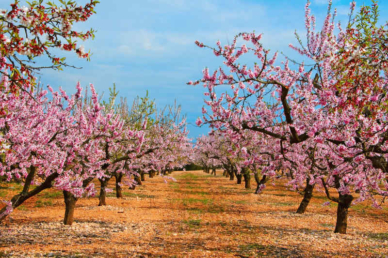Almond Trees in Madrid