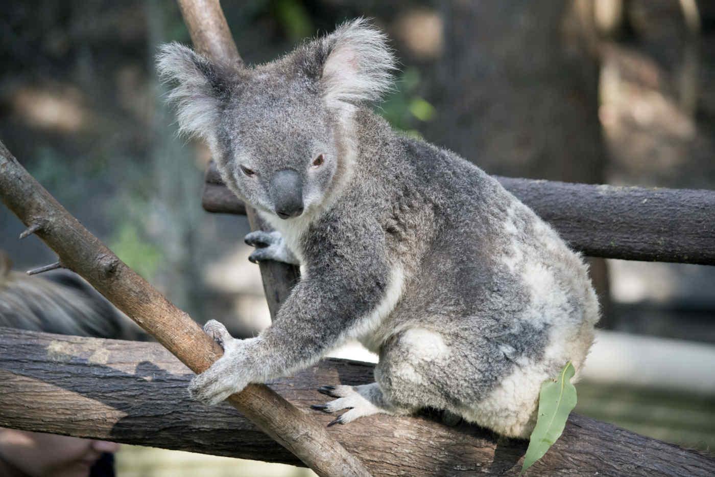 Know Before You Go: Australian Drop Bears