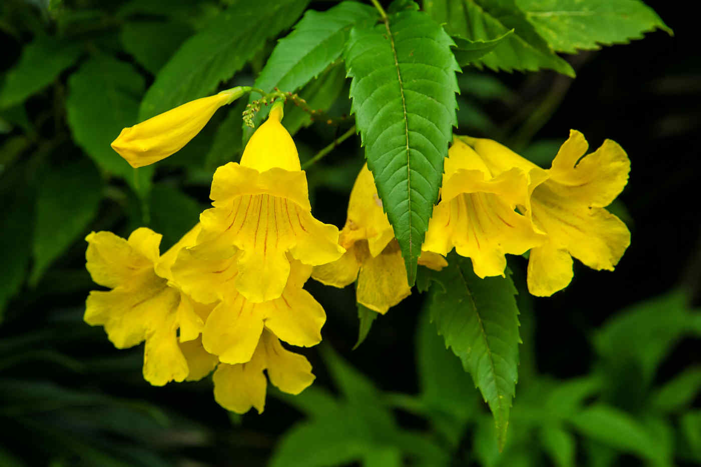 Yellow Elder flower