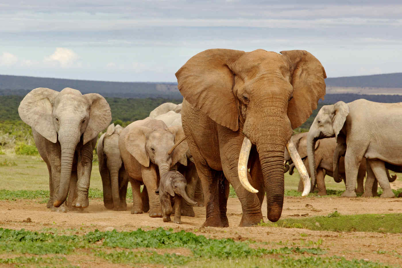 Elephants on safari in South Africa