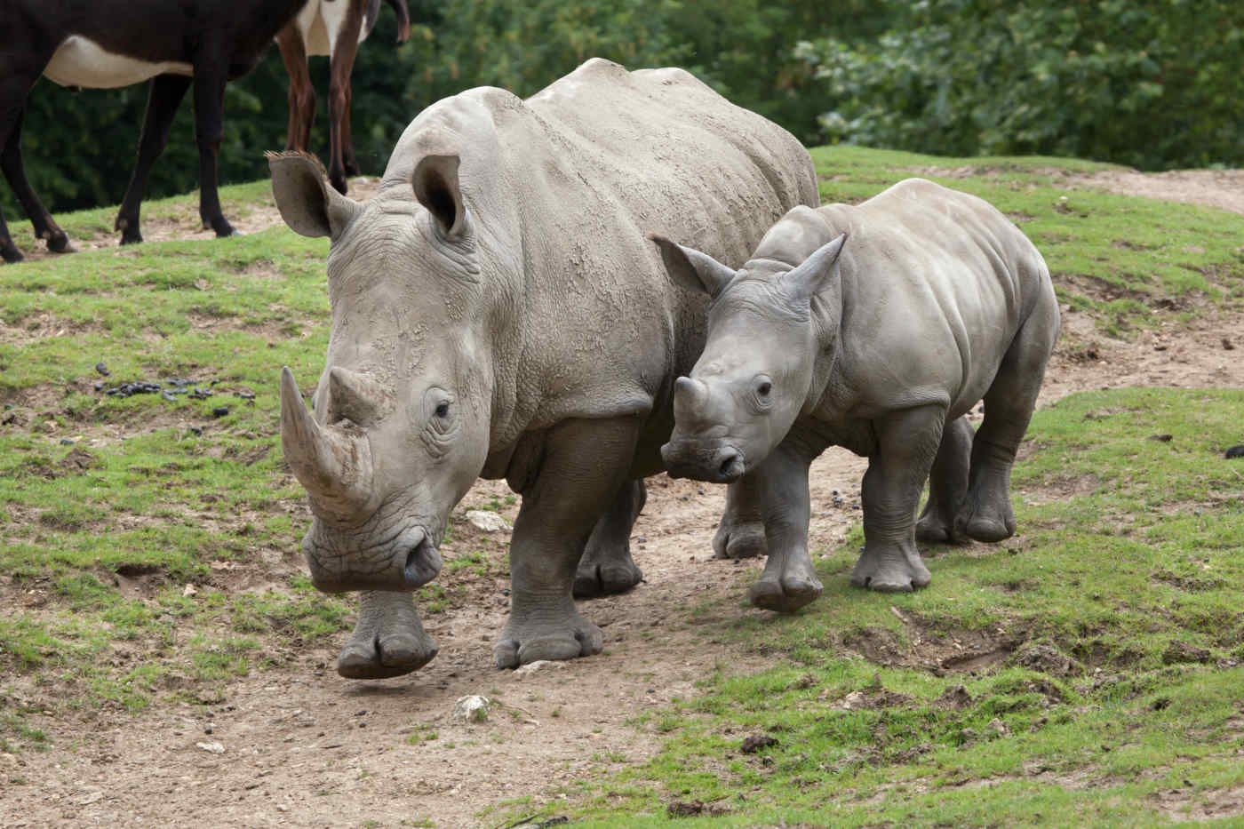 Rhinos, Masai Mara, Kenya