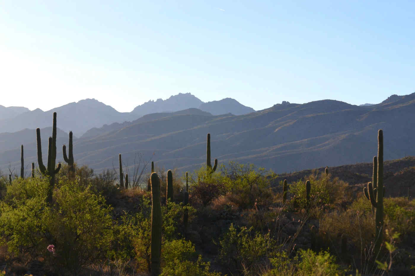 Saguaro Cacti in Mexico