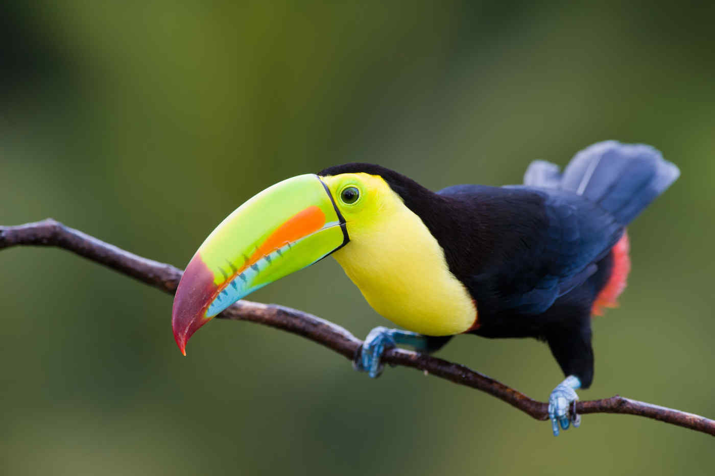 This is a toucan.