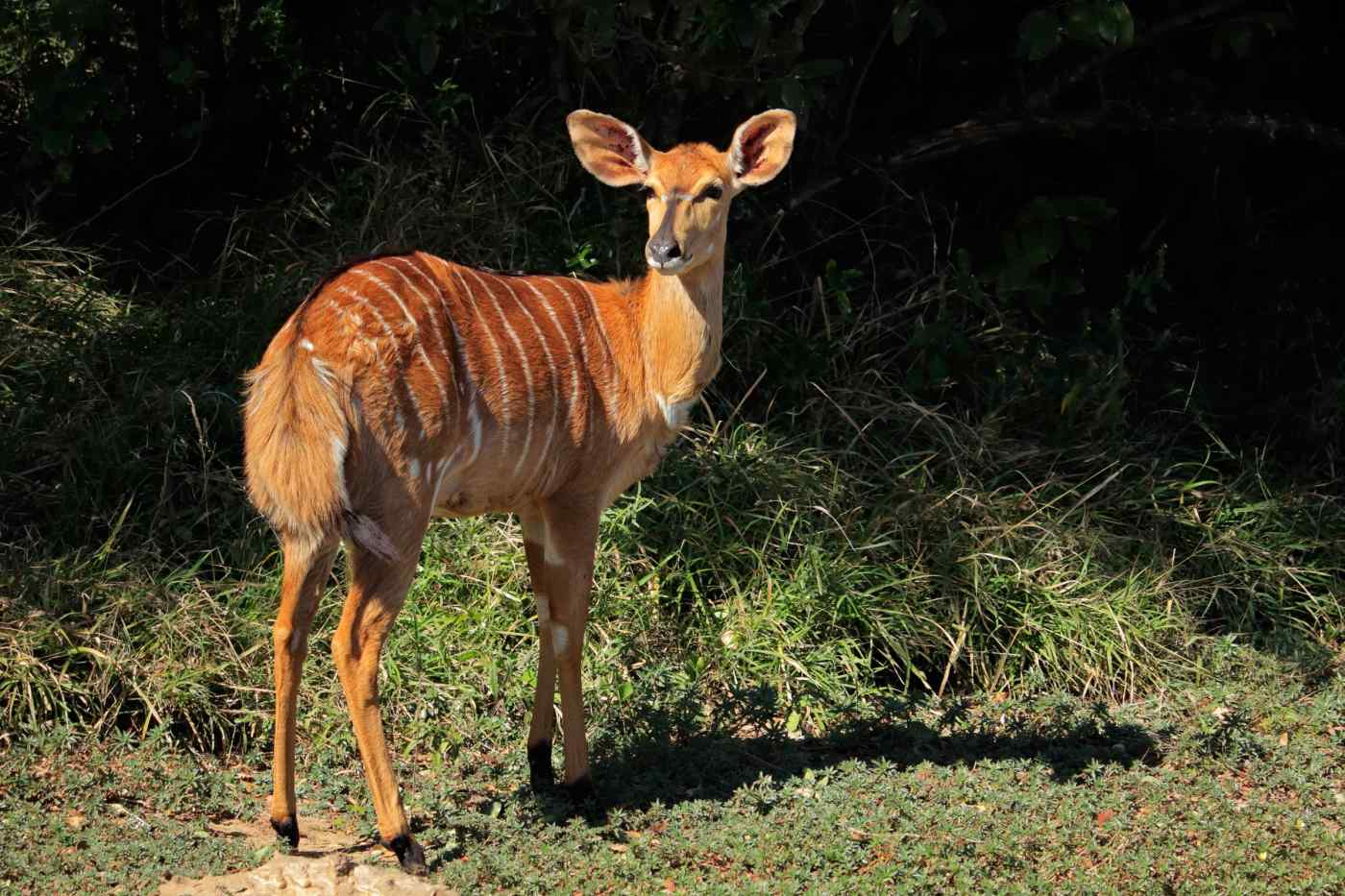 Female Antelope