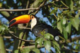 Monteverde toucan