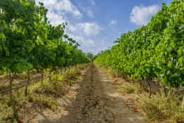 Vineyard in Malta