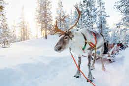 Reindeer at Santa Claus Village