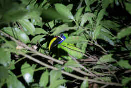 Toucan at night