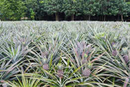 Pineapple plantation on Moorea, French Polynesia