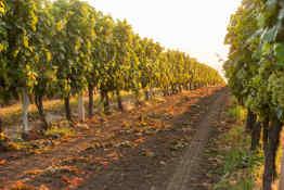 Chilean vineyard at dawn