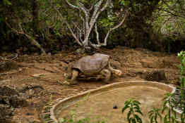 Giant tortoise at Charles Darwin Research Station
