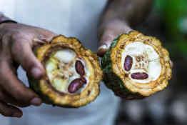 Cacao Fruit in Ecuador