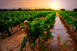 Vineyard in Ribera del Duero, Spain