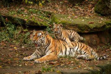 Tigers • Ranthambore, India