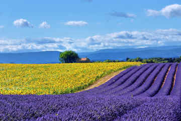 France Lavender Fields