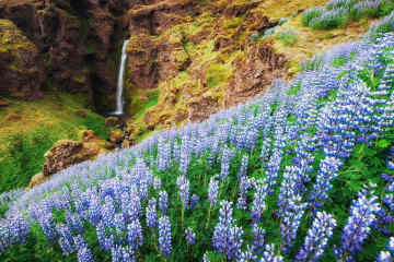 Wild lupine East Iceland