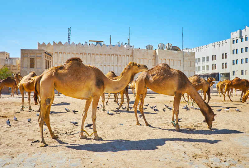 Camels in Doha, Qatar