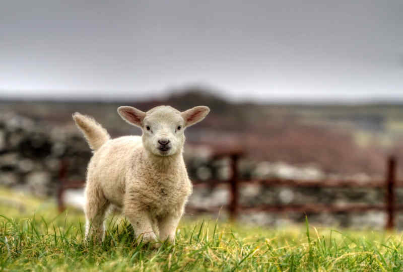 Lamb in Ireland