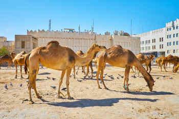 Camels in Doha, Qatar