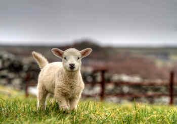 Lamb in Ireland