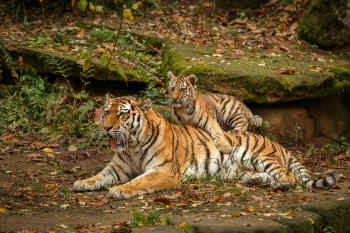 Tigers • Ranthambore, India