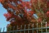 Low-angle shot of red-leafed branches above a metal fence