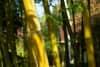 Close up on mature bamboo