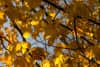 Close-up on yellow leaves, ready to fall