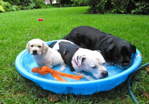 Dogs cooling off in kiddie pool during Iowa summer