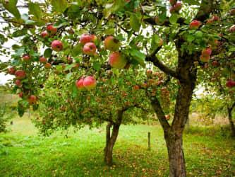 Fruit (garden) collectiongs