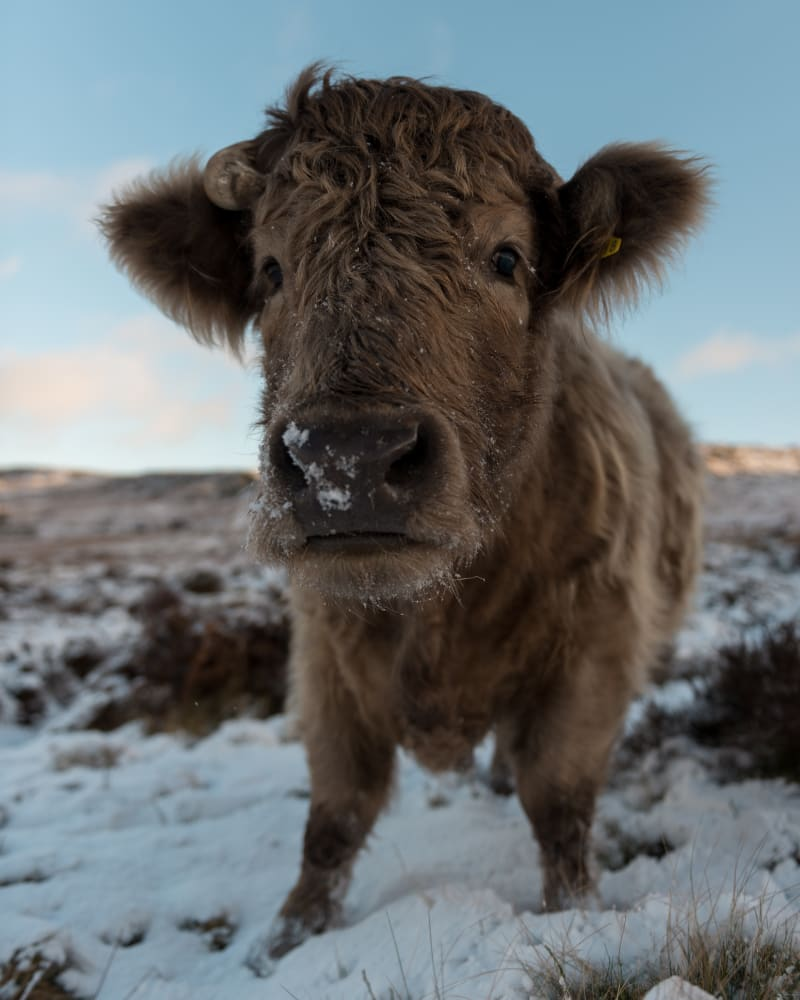 A highland cow close-up, looking directly at the camera.
