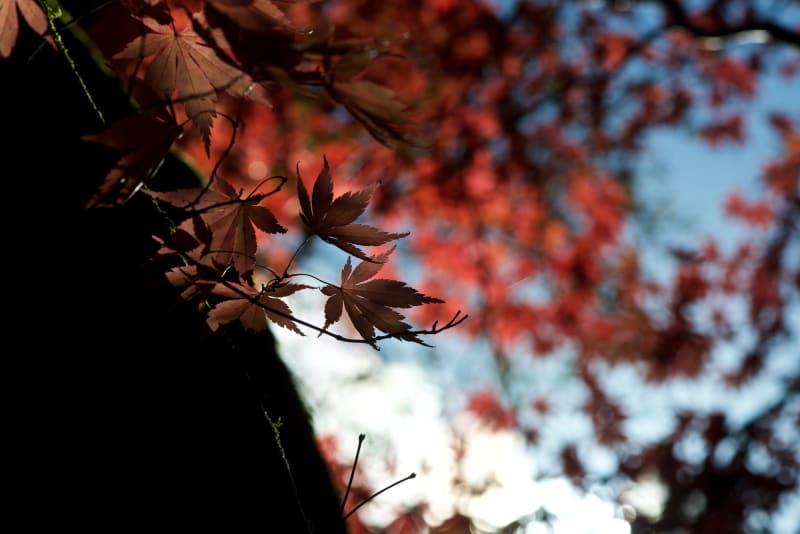 A dark photo of some dark red maple leaves.
