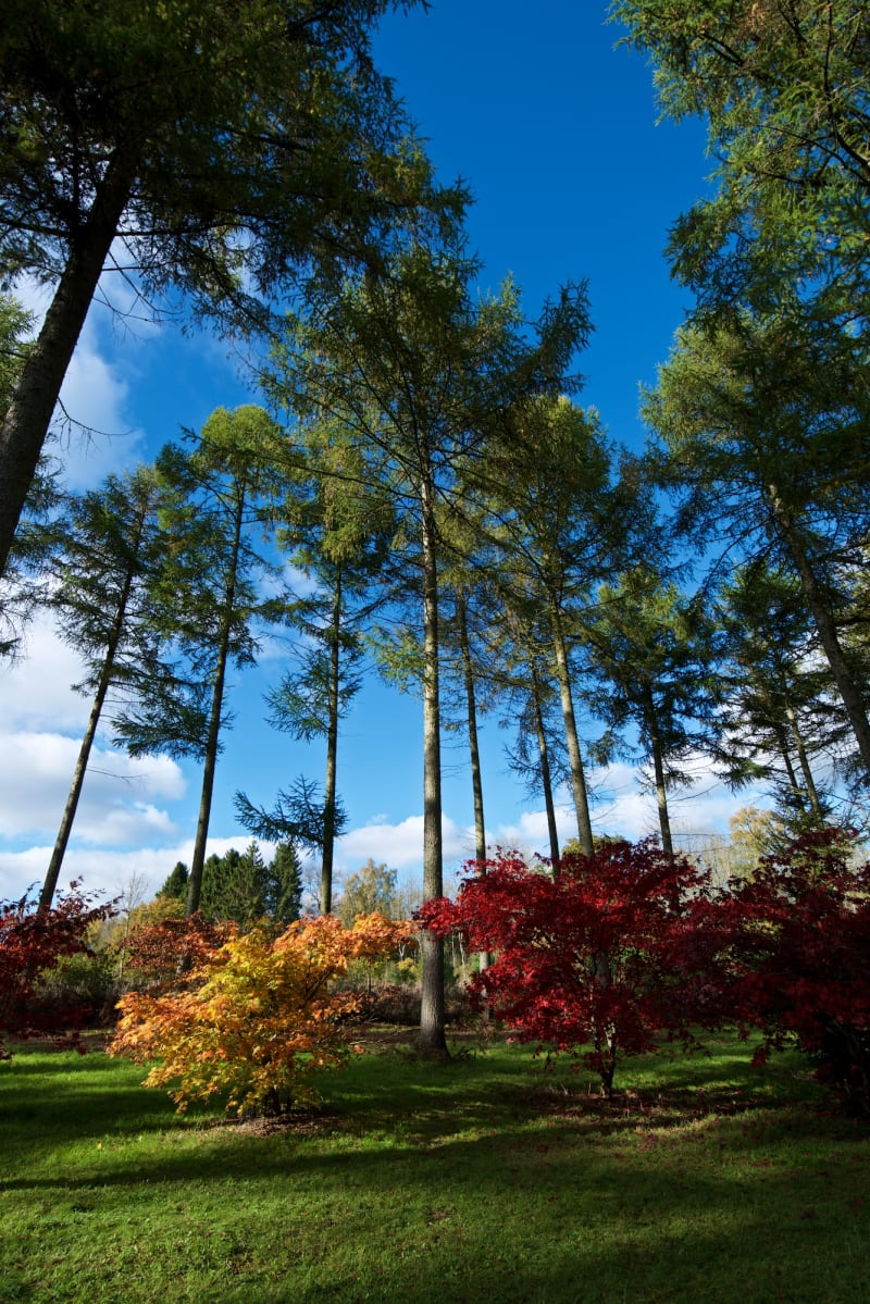 A wide angle photo of a very tall tree with two colourful maple trees at the base, one orange, one red.